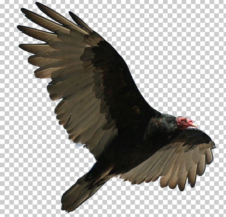 Turkey Vulture Bird Flight Buzzard PNG, Clipart.