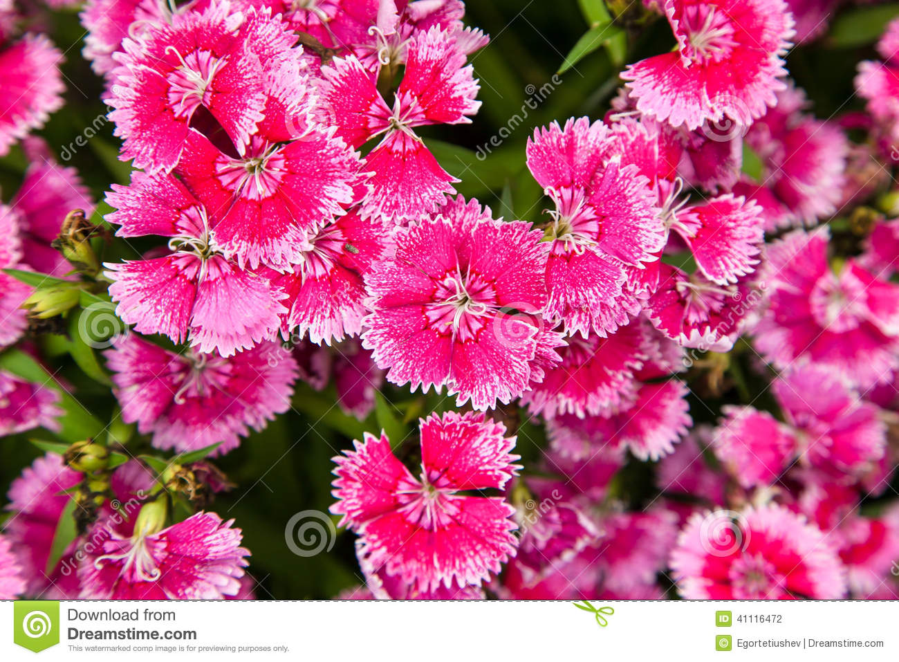 Turkish Carnation Pink Flowers Stock Photo.