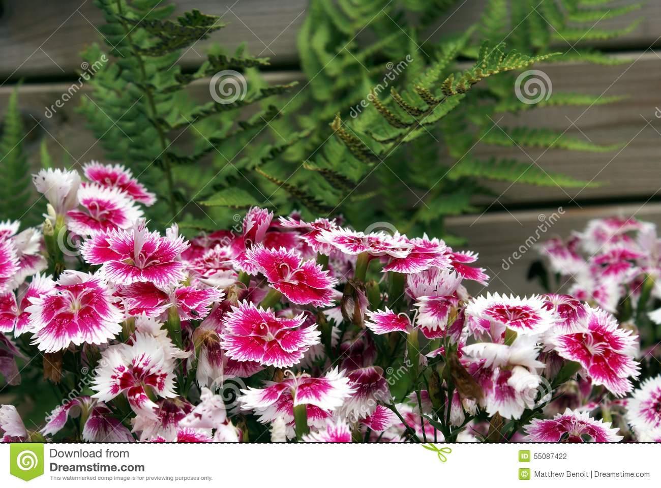 Turkish Carnation Flower Bed Stock Photo.