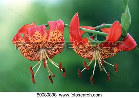 Pictures of DEU, 2002: Turk's Cap Lily (Lilium harrisianum.