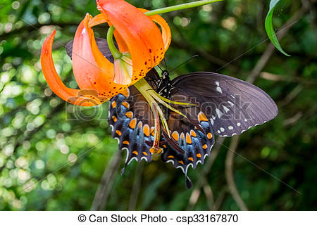 Picture of Butterfly Climbing on Turks Cap Lily.