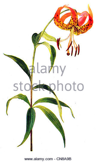 Turks Cap Lily Lily Cut Out Stock Images & Pictures.