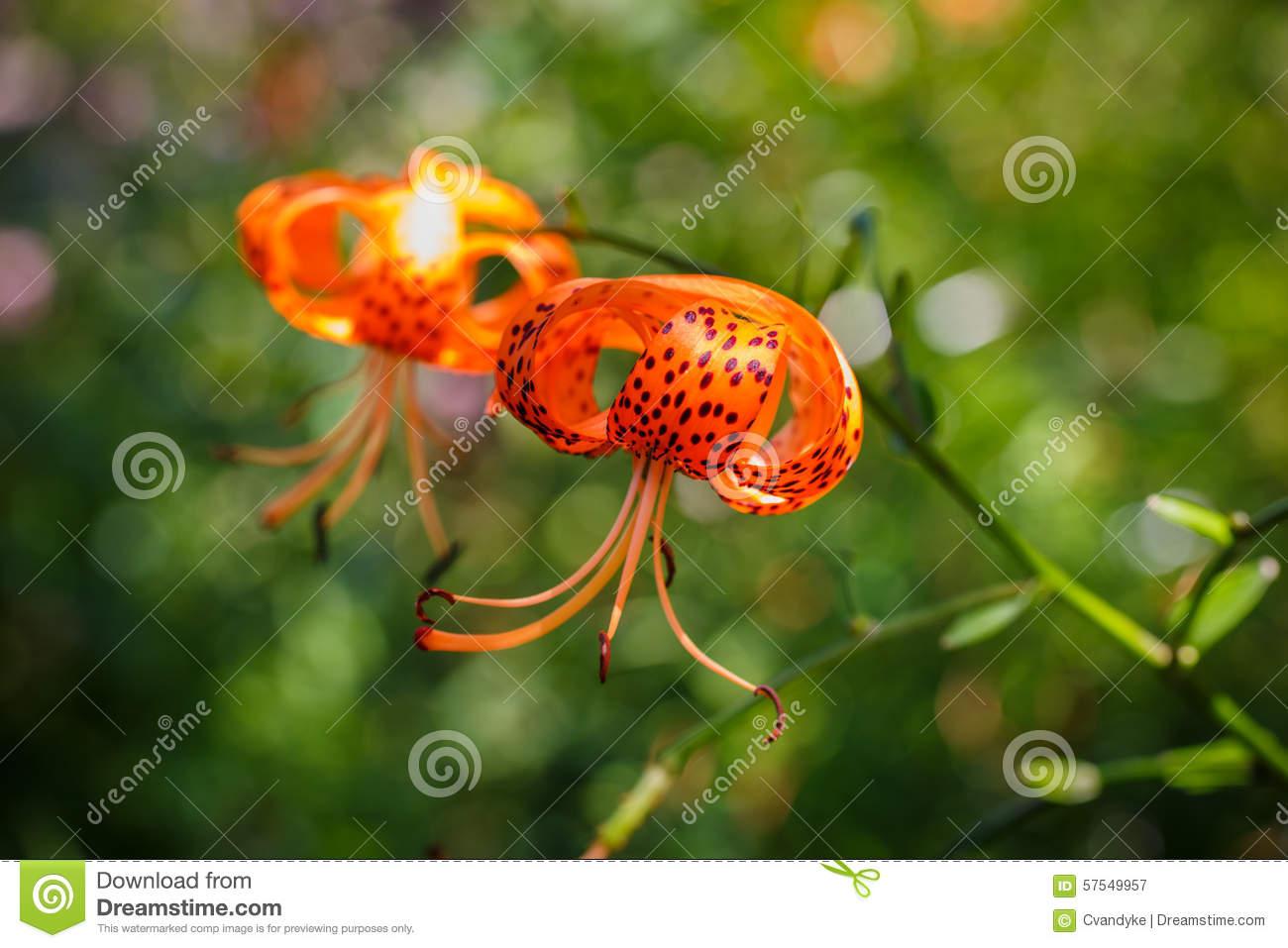 Flower Turk's Cap Lily Stock Photo.