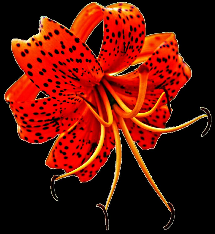 Orange Turk's Cap Lily by jeanicebartzen27 on DeviantArt.