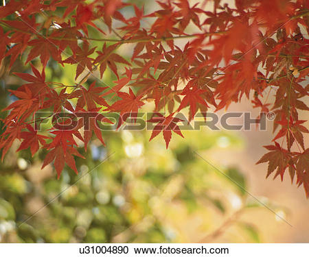Stock Photography of Turning Leaves Of A Maple u31004890.