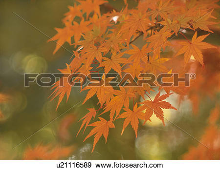 Stock Photograph of Turning Leaves Of A Maple u21116589.