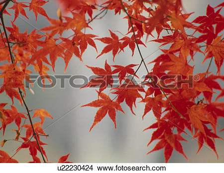 Stock Photo of Turning Leaves Of A Maple u22230424.