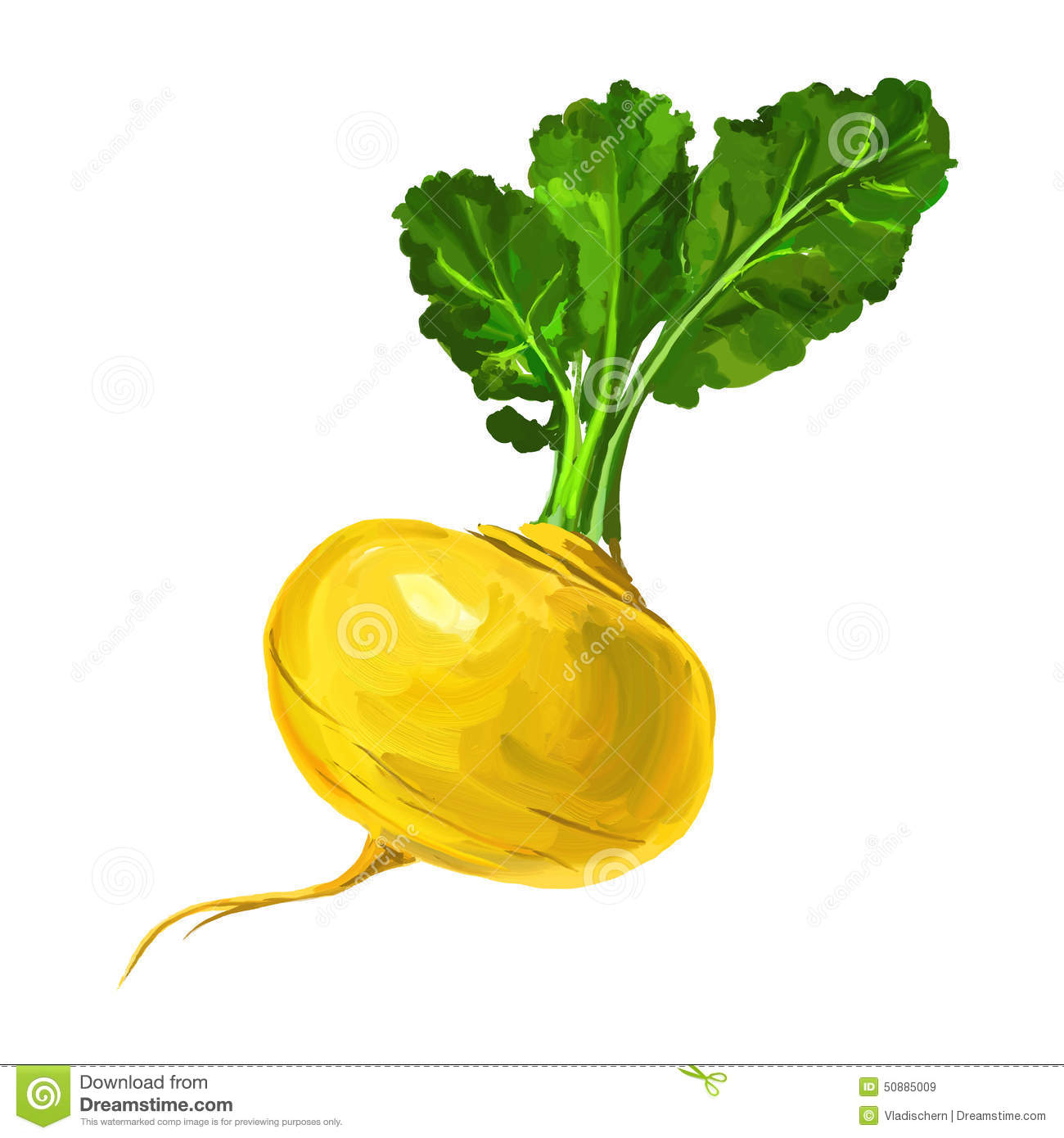 Vector Turnip Stock Photos.