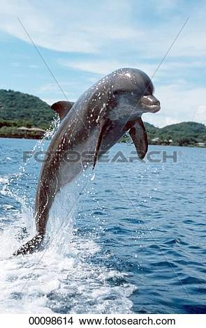 Stock Photo of Cetacea, Delphinidae, Juniors, Tursiops, Tursiops.