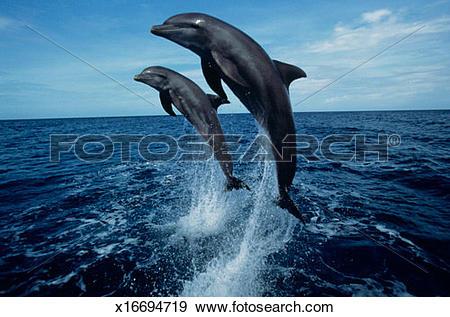 Stock Photograph of Bottlenose dolphins (Tursiops truncatus.