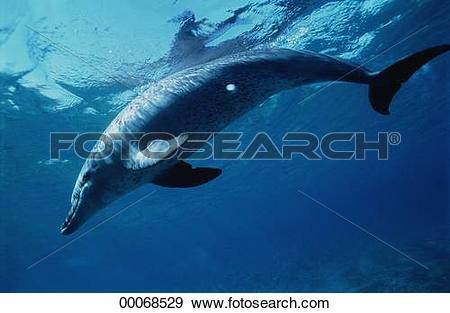 Stock Photograph of Cetacea, Delphinidae, Juniors, Tursiops.