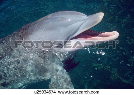 Stock Photo of Bottlenose dolphin,Tursiops truncatus, Oahu, Hawaii.