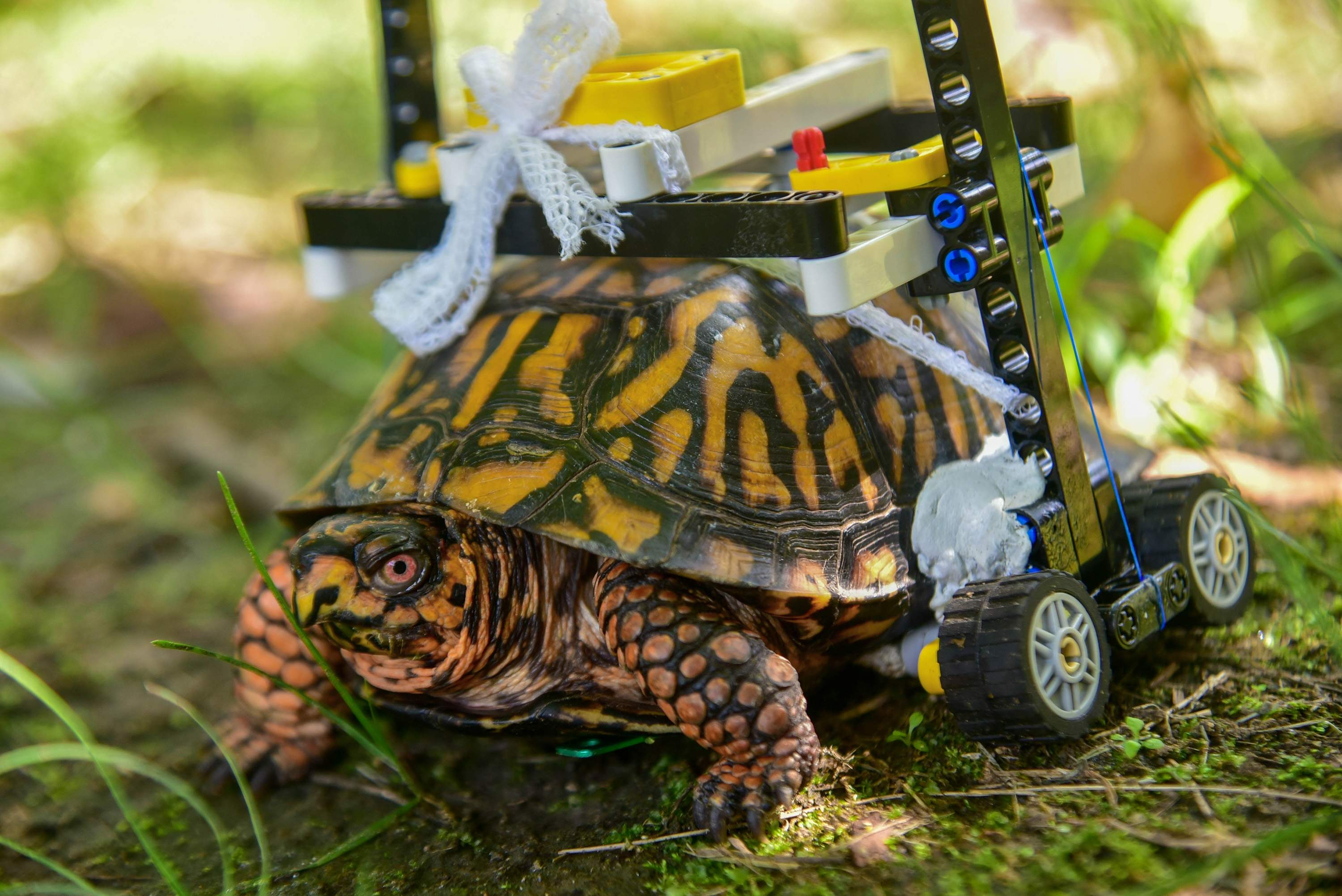 What has four LEGOs and crawls? Maryland box turtle takes.