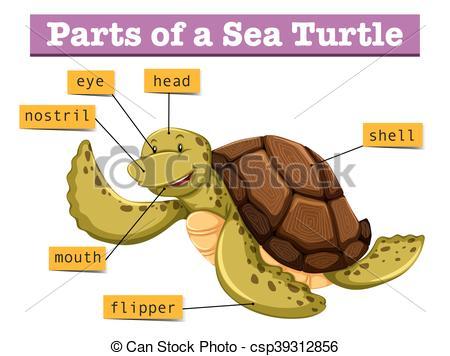 Clipart Vector of Diagram showing different parts of turtle.