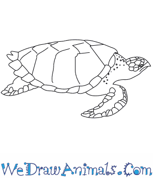 How to Draw a Hawksbill Turtle.