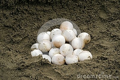 Turtle Eggs In Hollowed Out Nest Stock Photography.