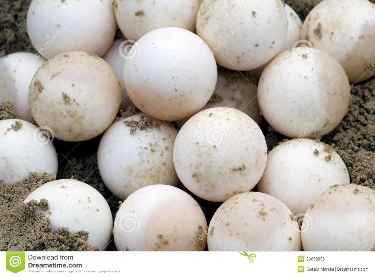 Snapping Turtle Eggs (Chelydra Serpentina) Royalty Free Stock.