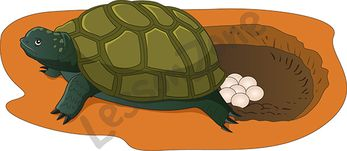 Turtle eggs clipart.
