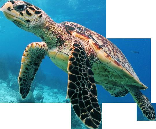 Turtle PNG Images Transparent Free Download.