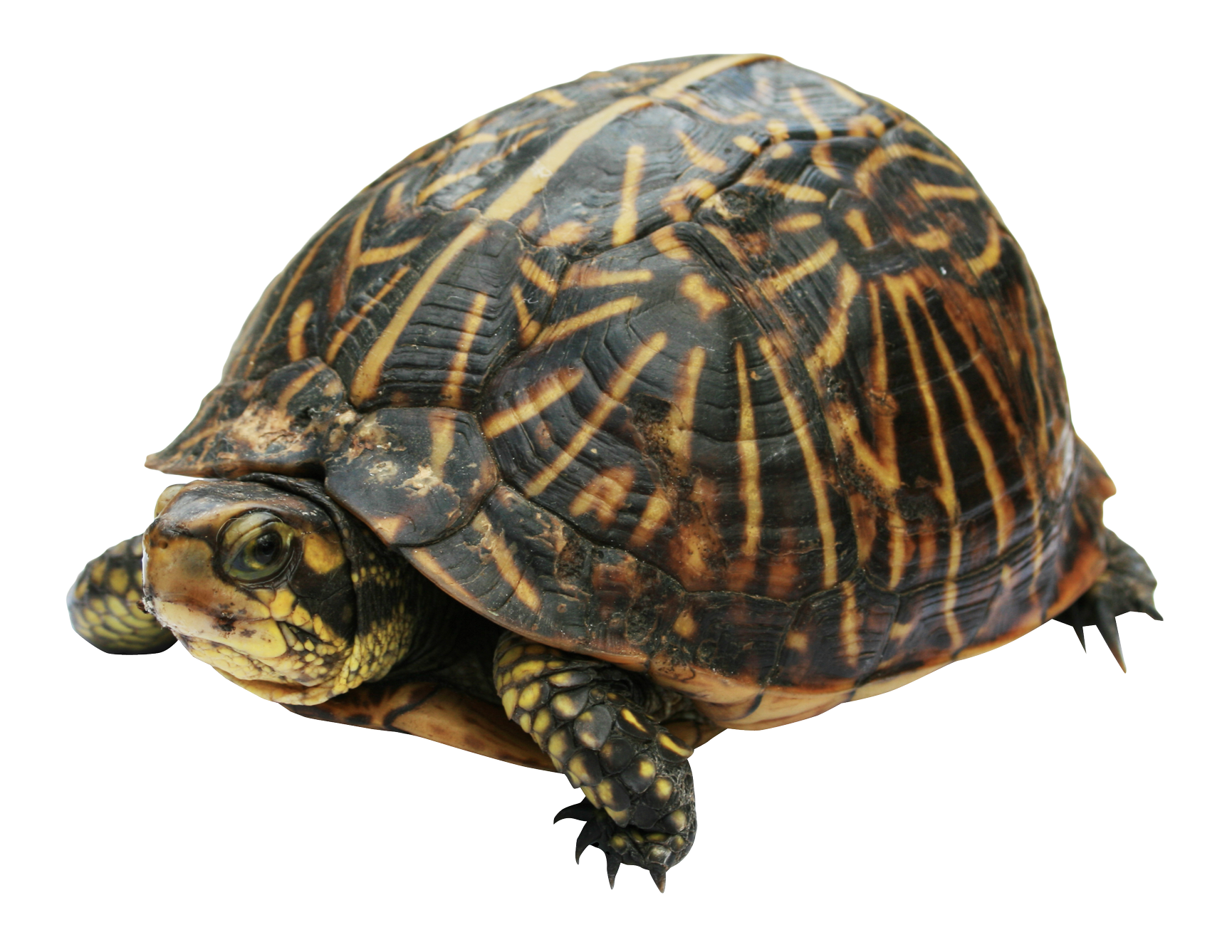 Turtle PNG Image.