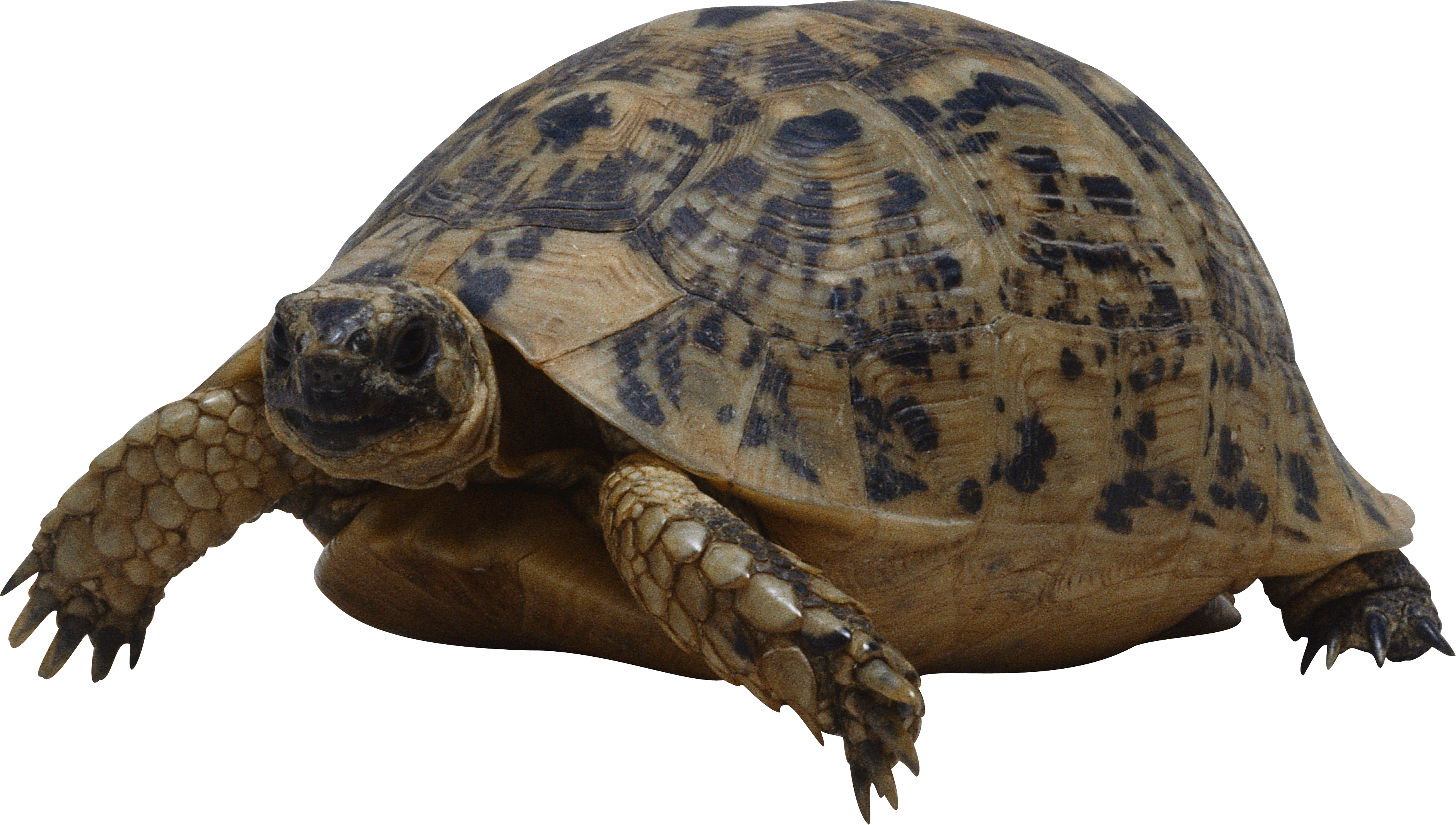 Turtle PNG images free download.