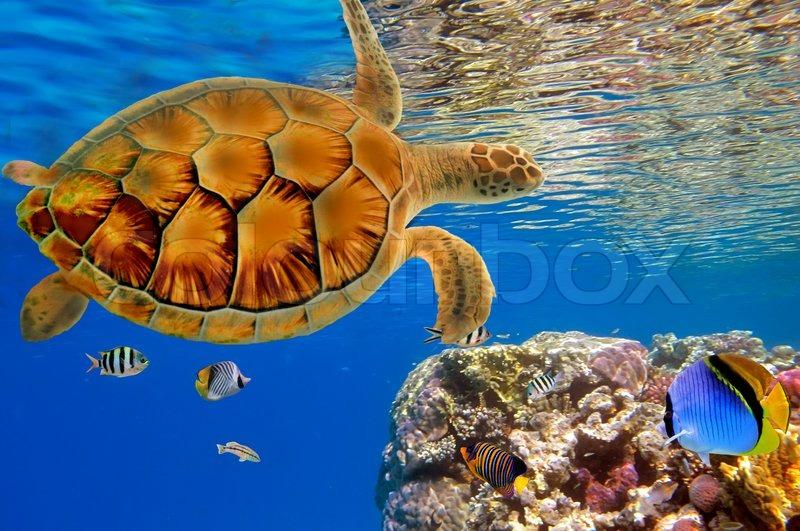 Buy Stock Photos of Sea Turtle.