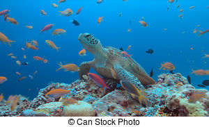 Stock Photography of Green Sea Turtle swiming over Coral Reef, Red.