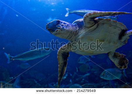 Ocean Sunfish Mola Mola Lisbon Oceanarium Stock Photo 113367.