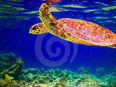 Sea Turtle Swiming Cartoon Stock Vector.