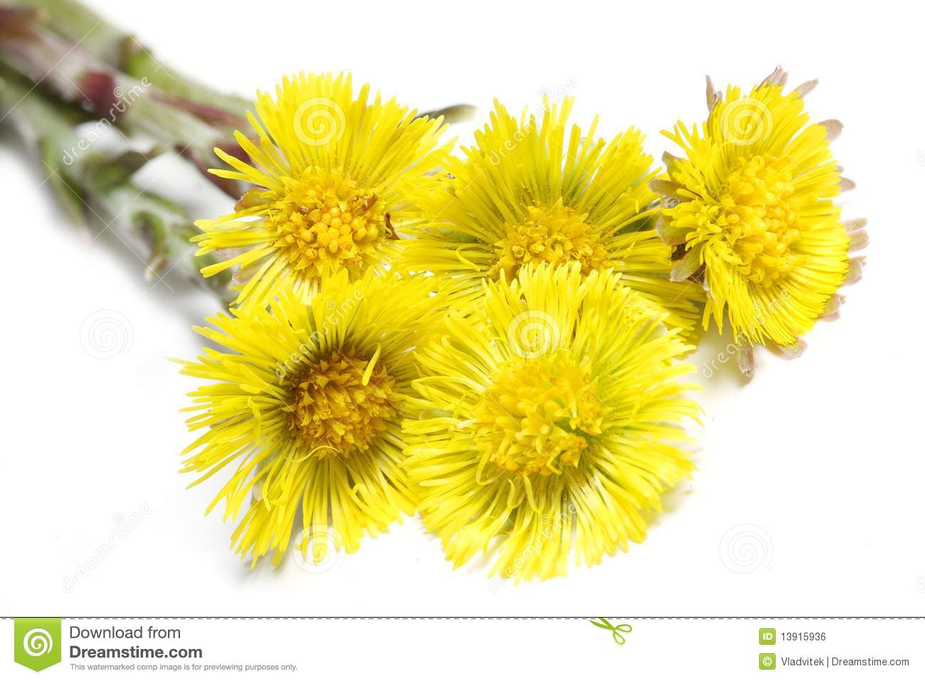 Tussilago Stock Photos, Images, & Pictures.