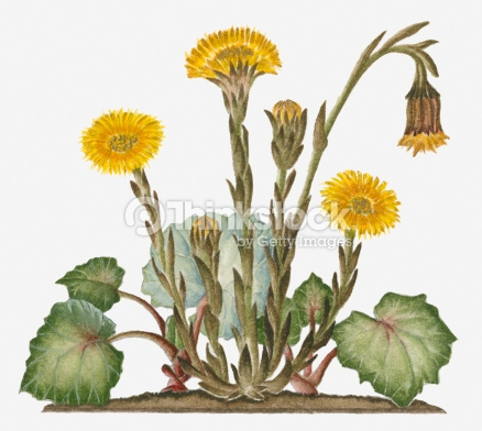 Illustration Of Tussilago Farfara Bearing Yellow Flowers.