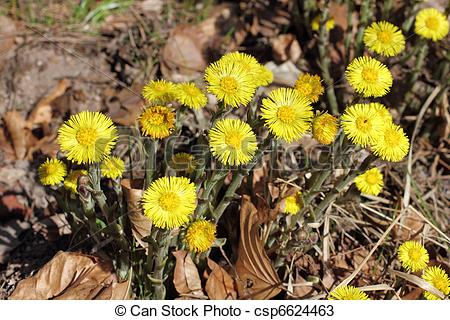 Stock Photos of Blossoms of Coltsfoot, Tussilago farfara.