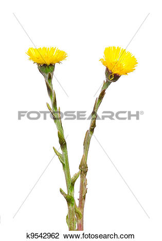Stock Photo of Coltsfoot (Tussilago farfara) k9542962.