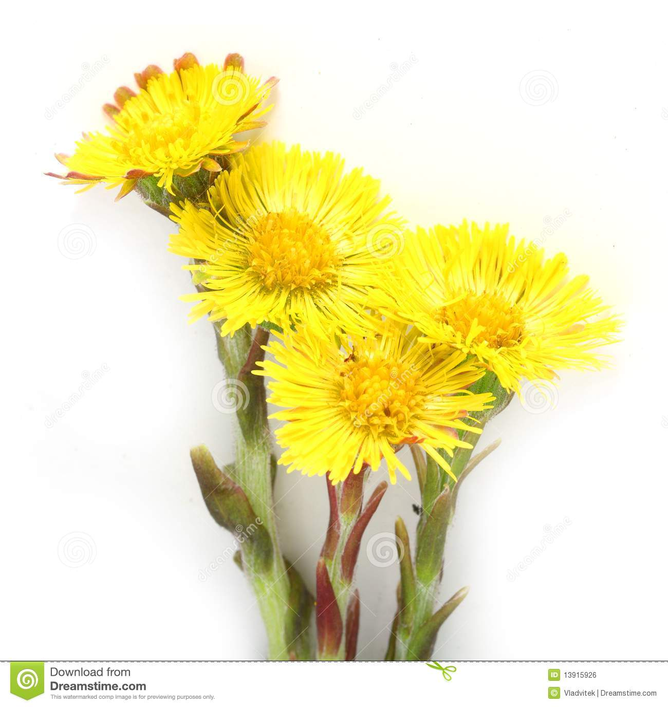 Coltsfoot (Tussilago Farfara) Stock Photography.