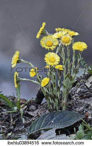 "Stock Images of ""Coltsfoot (Tussilago farfara), Baden."