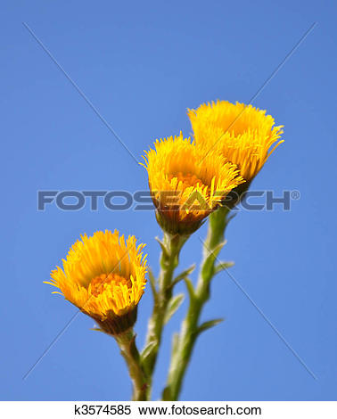 Stock Image of Coltsfoot (Tussilago farfara) k3574585.
