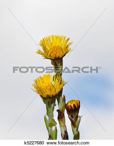 Stock Illustrations of Coltsfoot (Tussilago farfara) k5227680.