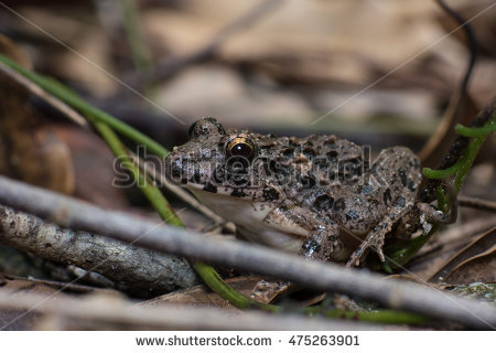 Giant Frog Stock Photos, Royalty.