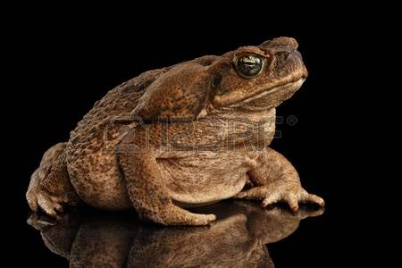 Marine Toad Images & Stock Pictures. Royalty Free Marine Toad.