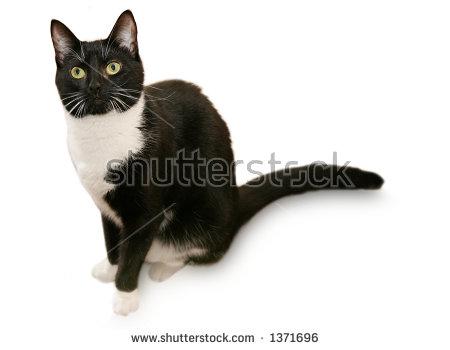 Tuxedo Cat Stock Photos, Royalty.