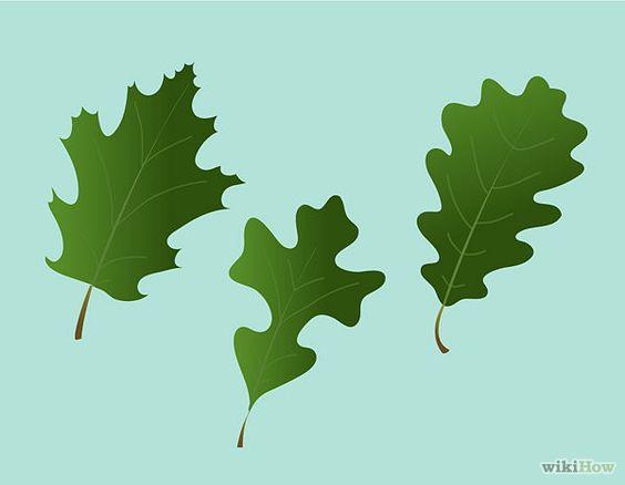 Identify Oak Trees.