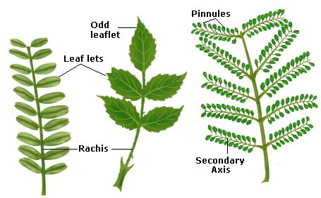 Bipinnately Compound Leaves.