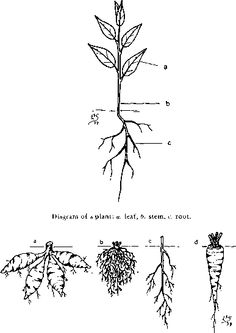 Types of leaves: a. pinnately compound, b. scale, c. needle, d.
