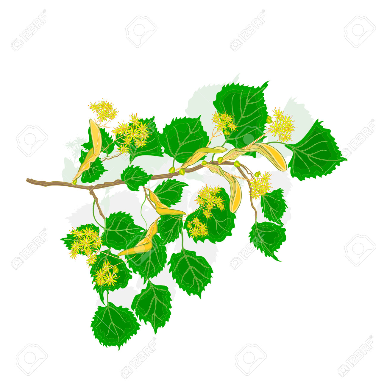 Linden Twig With Flowers Vector Illustration Without Gradients.