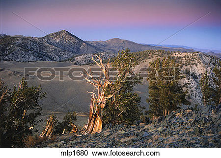Stock Photography of Twilight glow on bristlecone forest, Silver.