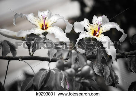 Stock Photography of Twin flowers k9293801.