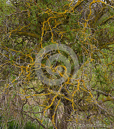 Corkscrew Twisted Willow Orange Lichens On Branches Stock Photo.