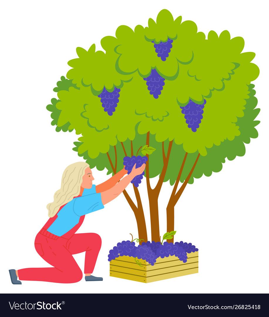 Harvest grapes winemaker and bush farm.