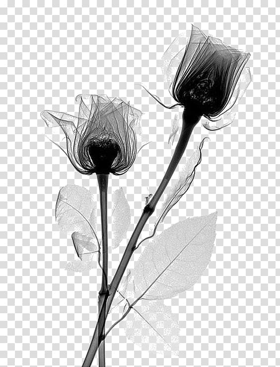 Two roses illustration, X.