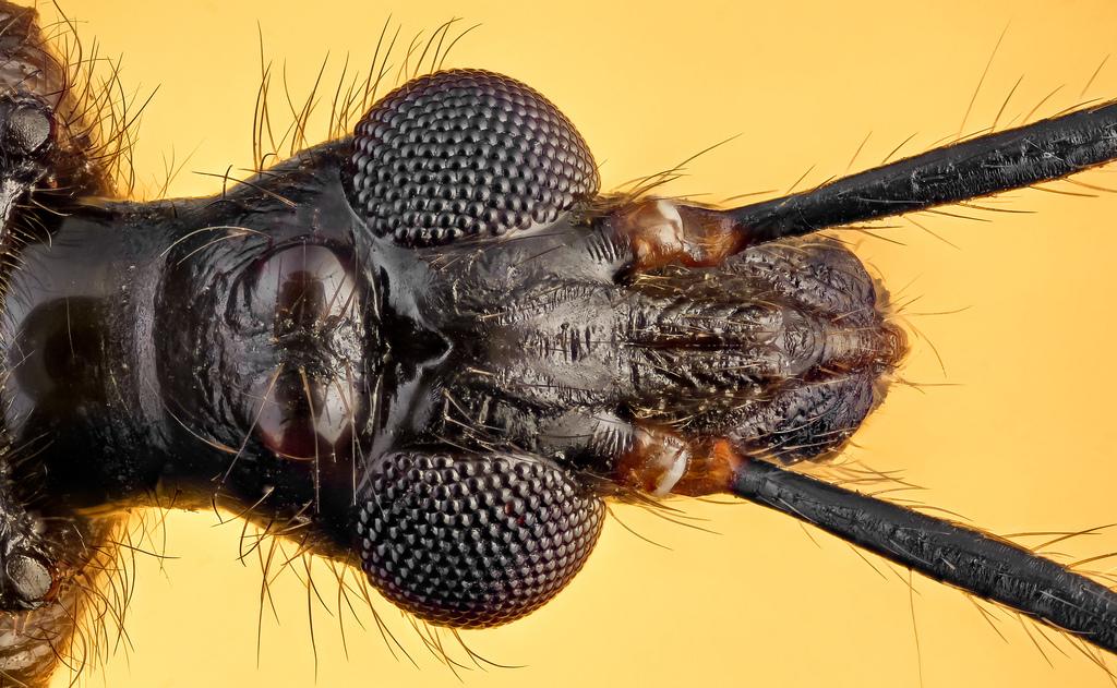 Reduvius personatus, große Raubwanze / assassin bug.